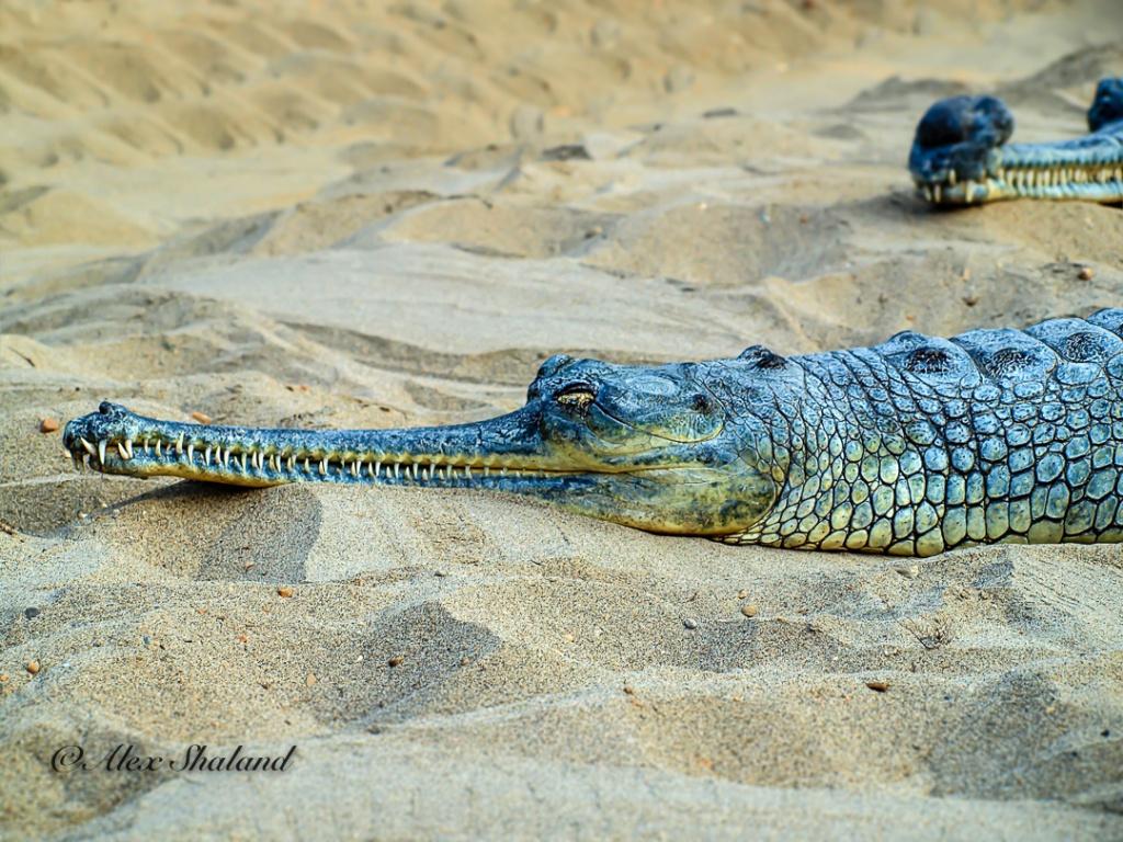 Asian crocodile resting on the sand.