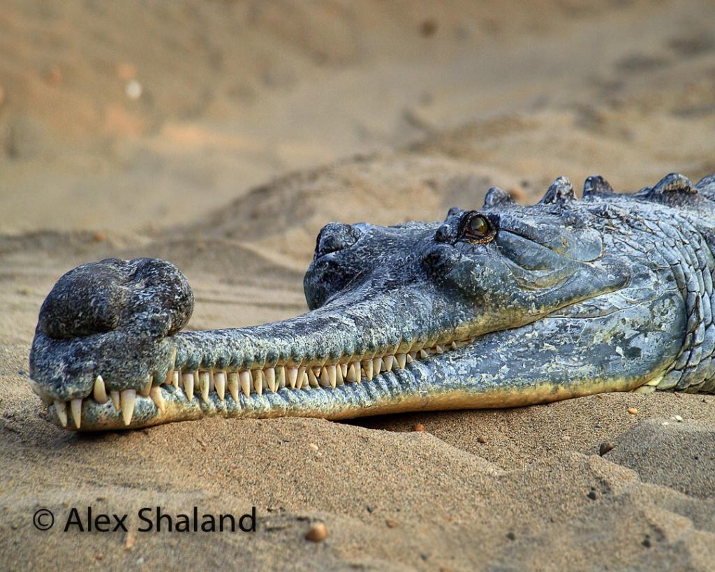 Close-up of an Asian crocodile head.