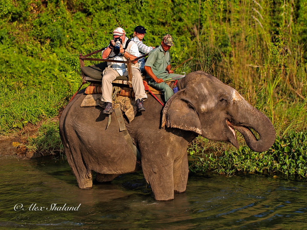 Elephant with riders stand in a lake. Riders take pictures of the fish in the water.