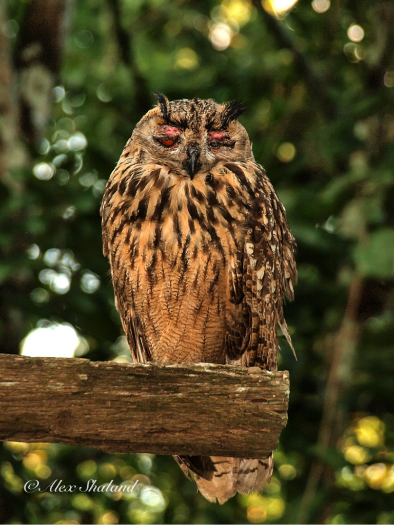 An owl resting during the day in Chitwan National Park, Nepal.