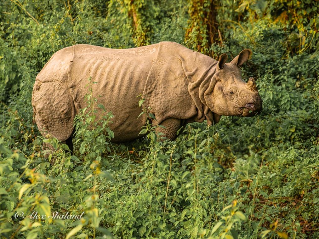Asian rhino among tall grass and bushes