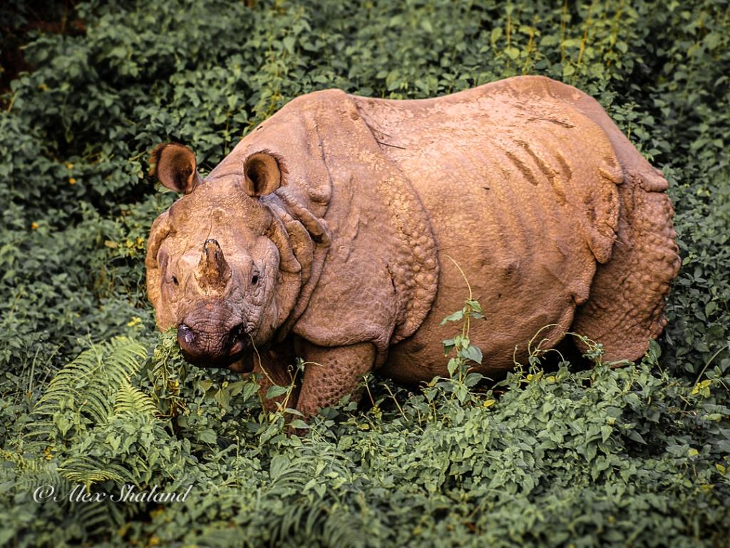 Greater one-horned rhinoceros in Chitwan National Park, Nepal
